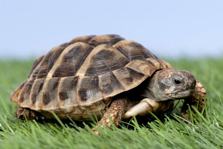turtle in grass with blue sky overhead