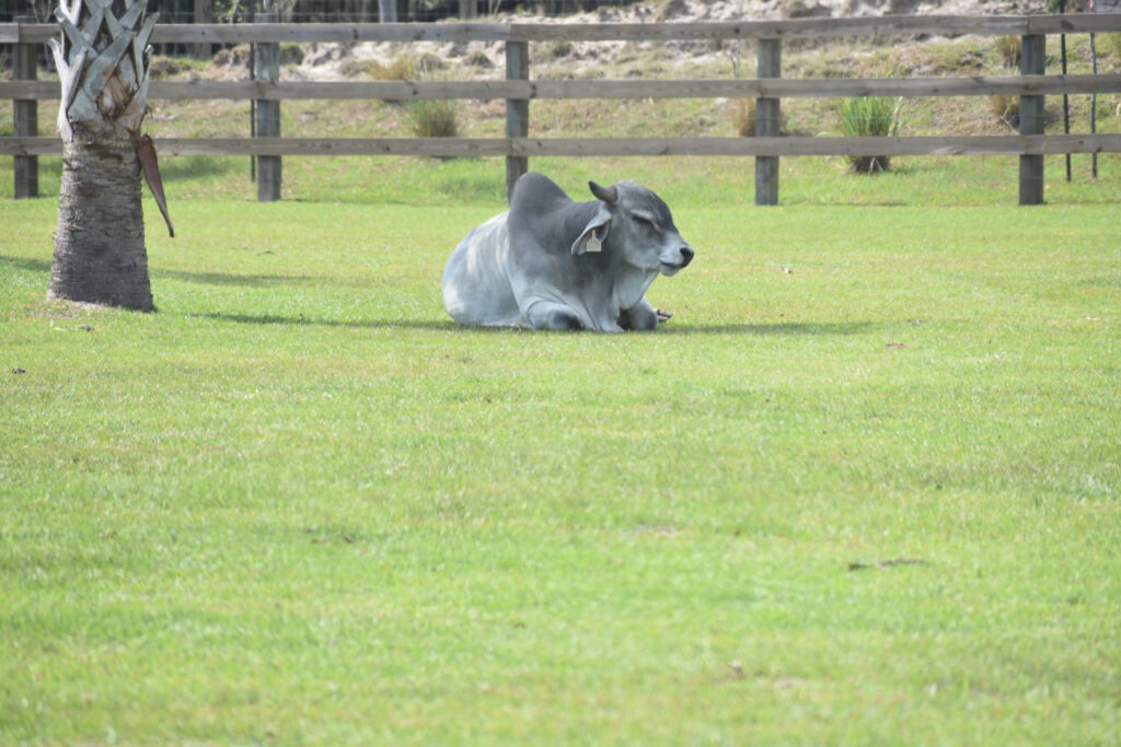 Brahman cow laying in grass