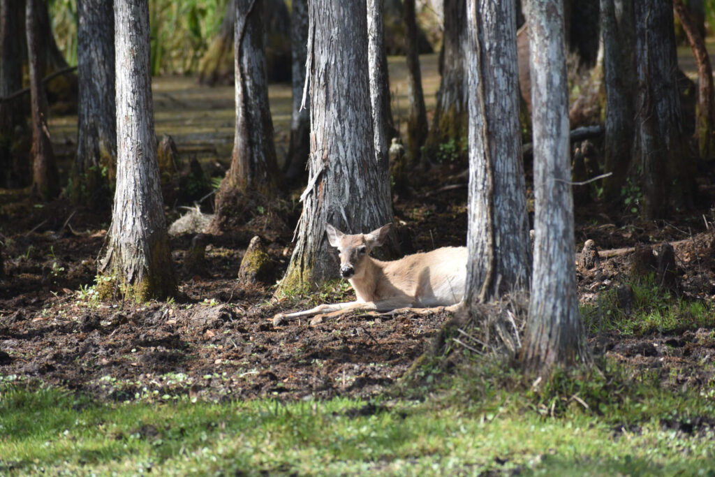 deer laying in the woods