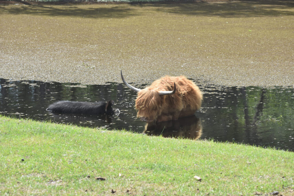 Highland cattle in a pond